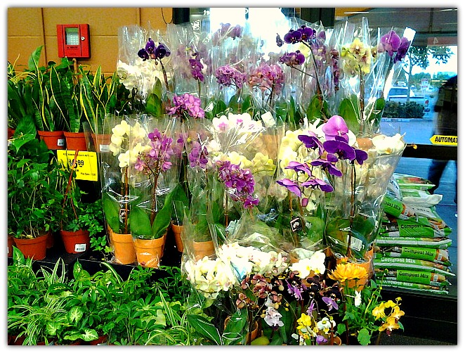 orchids at grocery outlet